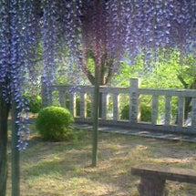 木花咲耶神社の藤