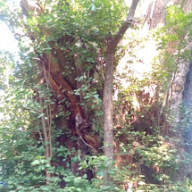 加藤神社 銀杏の木