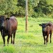 「舐犢之愛」と母牛の…
