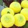 重陽の節句・菊