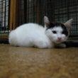 生後2ヶ月の三毛猫・…