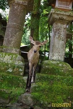 春日大社の鹿さん6
