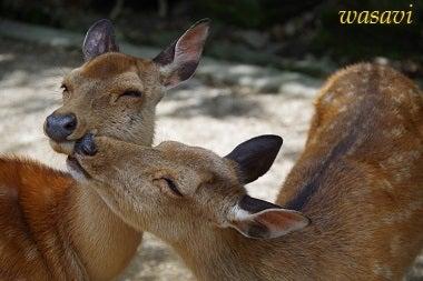 春日大社の鹿さん8