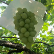 白百合醸造ワイン祭り