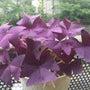 オキザリス 紫の舞 …