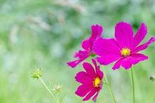 コスモスの花(ぱくたそ)