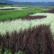 カラフル稲