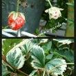 今日の庭*斑入り葉イ…
