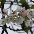 新潟でこの時期に桜が…
