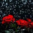 雨の日の赤い薔薇 P…