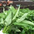 この時期の葉物野菜