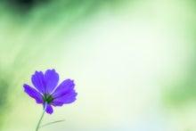紫色のコスモス(ぱくたそ)