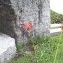 ヒガンバナの開花