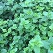 オレガノの葉