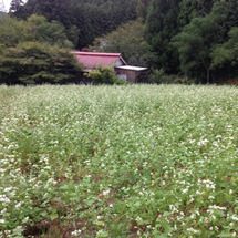 台風の後の蕎麦畑