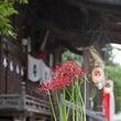 墨坂八幡神社の彼岸花