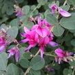 ハギ(萩)・季節の花…