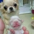 ライチちゃんの出産、…