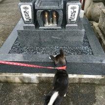 柴犬夏子とお墓参り