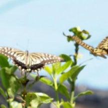 二頭のアゲハチョウ