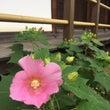 芙蓉の花 等持院 2