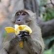 猿は足でもバナナを剥…