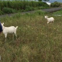 大根島のヤギ