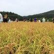 【レポート】稲刈りを…