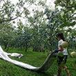 週末賑やかリンゴ園