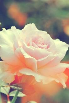 淡いピンク色の薔薇(ぱくたそ)