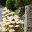 正光寺の白彼岸花