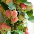 実りの秋の姫りんごは…