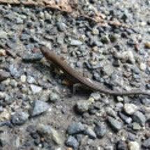爬虫類見つけたよー
