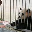 パンダ連投!誕生祭り…