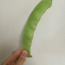 大きな大きな枝豆? …