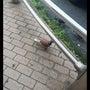 珍しいハト。