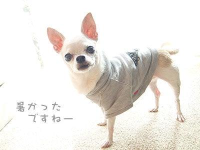 20160927チワワの小太郎