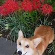 ヒガン花と季節の草