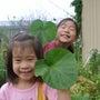 我が家の畑の朝顔、葉…