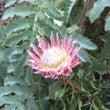 南アフリカの花の王様…