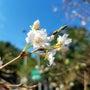 十月桜が咲き始めまし…