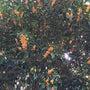 キンモクセイが咲いて…