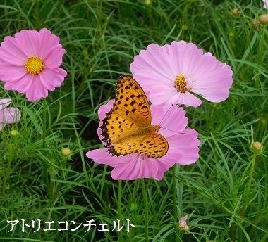 コスモス蝶