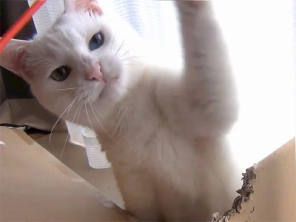 猫じゃらしに手を伸ばす白猫ユキ