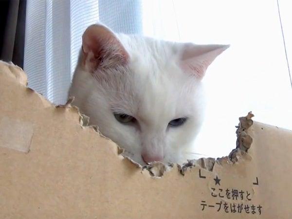 段ボール箱の中から様子を覗う白猫ユキ