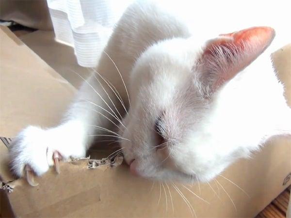 段ボール箱に噛みつく白猫ユキ