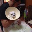 愛犬のヘルニア治療依…