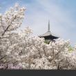 私の美的日本 桜1