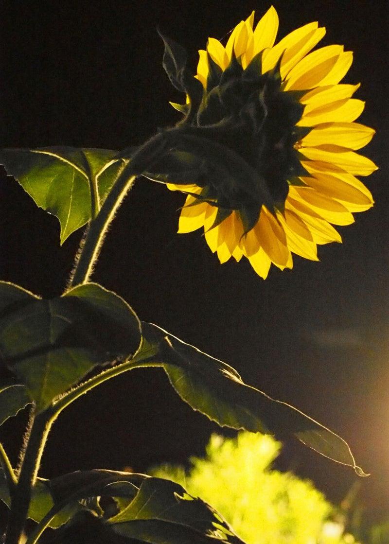 一本目の向日葵、夜の後ろ姿。