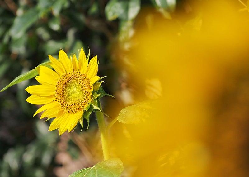 2本目の向日葵